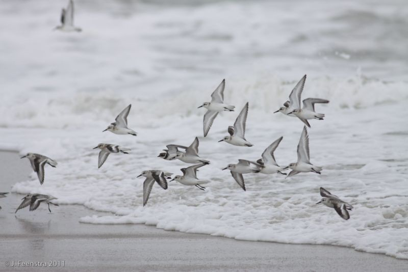 Cape May is world renowned as a funnel for birds migrating south down the Atlantic Coast. Here, Sanderlings (and a Semipalmated Plover) move along the beach…