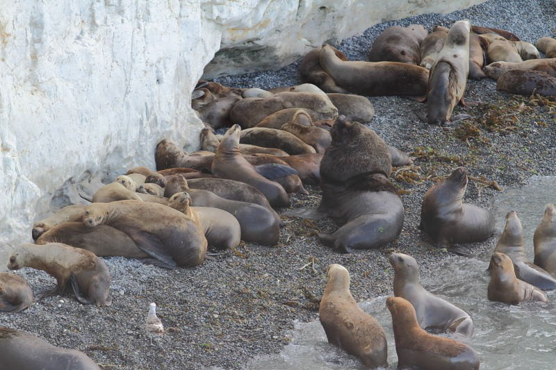 …as well as male Southern Sea Lions tending to their harems…