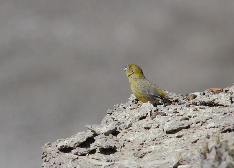 …while Patagonian Yellow Finches sing loudly nearby.