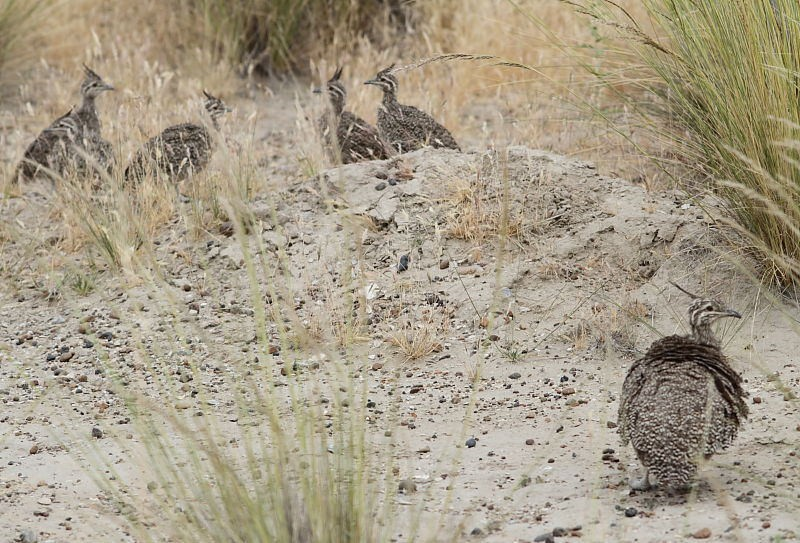 Elegant Crested Tinamou families are easily seen along the roadsides in this region…