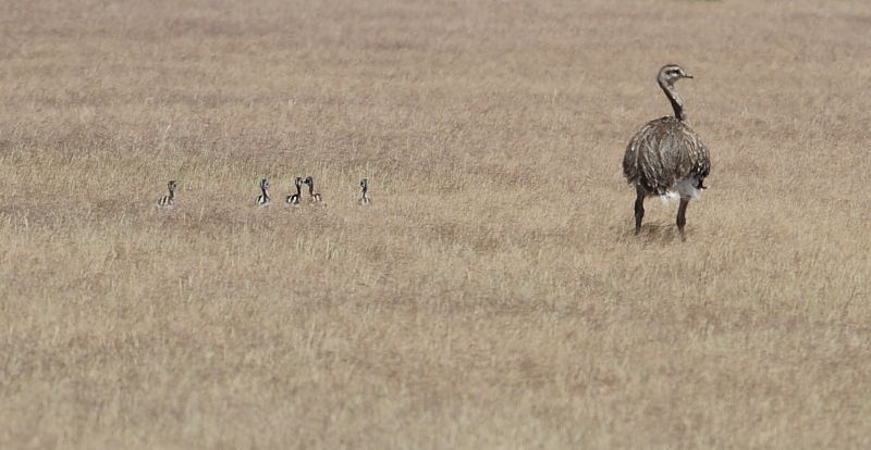 …or a foraging family of Darwin's Rheas.
