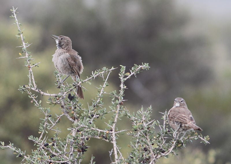 Our search will concentrate on several endemic species like these curious White-throated Cachalotes…