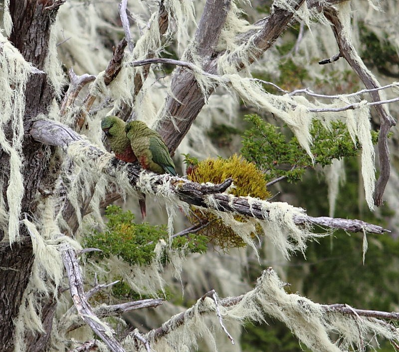 …and the <i>Nathofagus</i> forests of southern Patagonia are laden with moss that often hide Austral Parakeets.