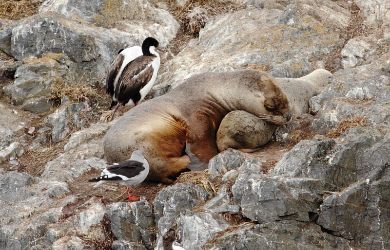 …that harbor resting Sea Lions with their pups and accompanying Imperial Shags…