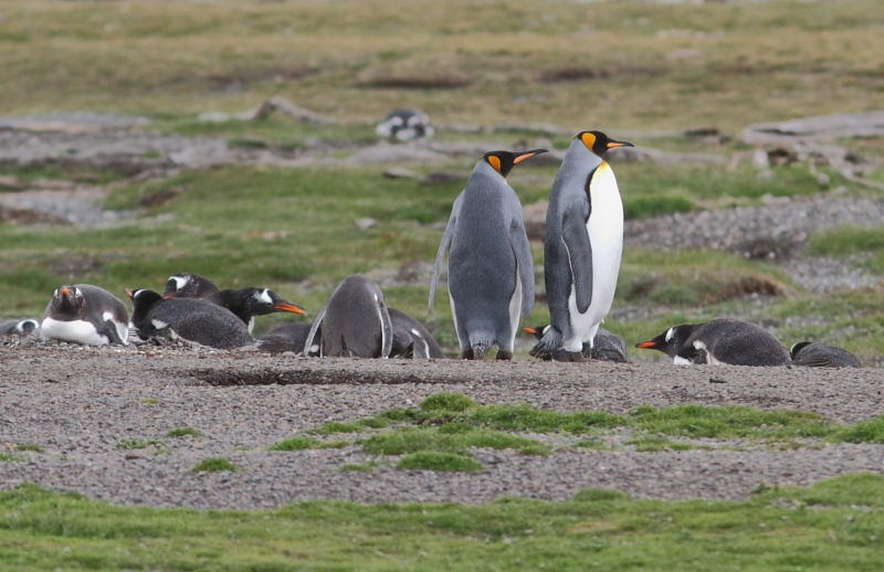 …our island destination that accommodates Gentoo, and in recent years a few King Penguins.