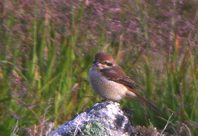 …even a Brown Shrike!