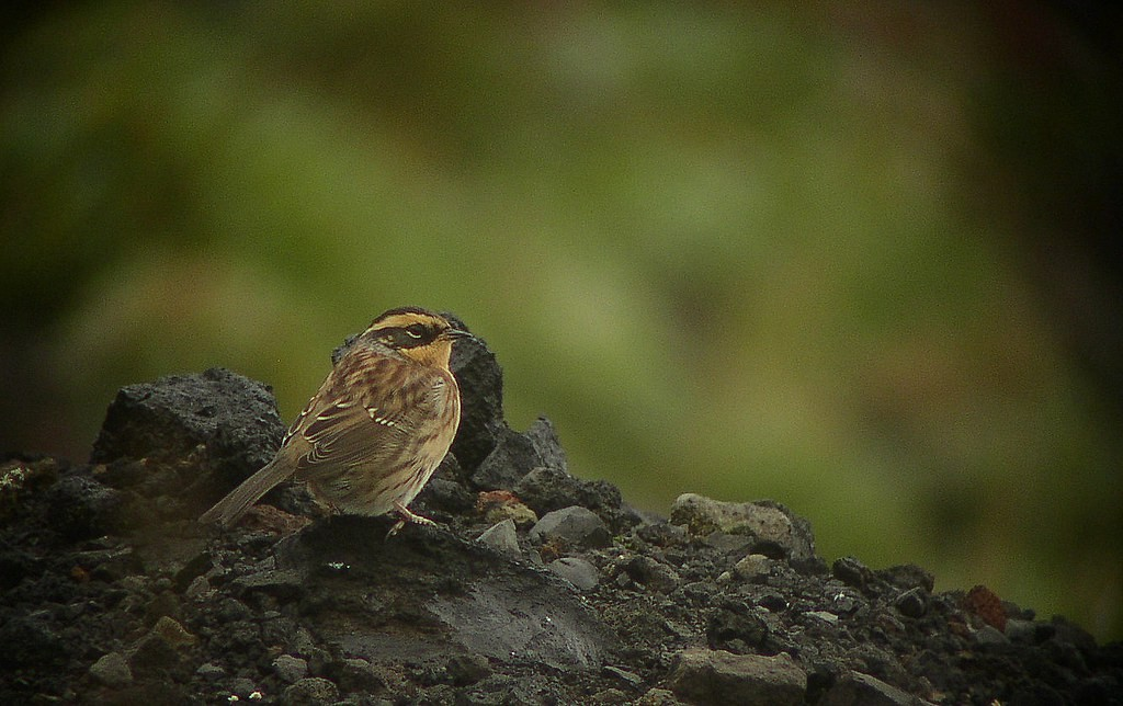…Siberian Accentor or…