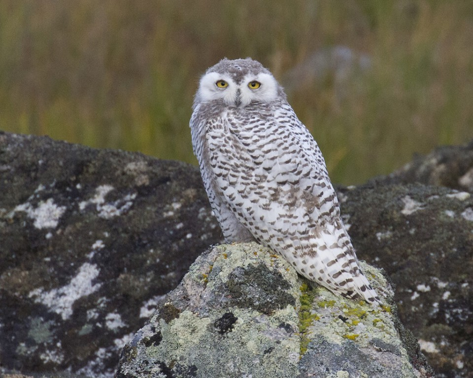 …and in some years we find young Snowy Owls nearby, feasting on the numerous Tundra Voles.