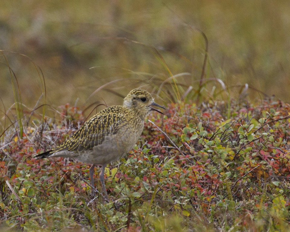 …and juvenile shorebirds like this Pacific Golden gearing up for their first fall migration.