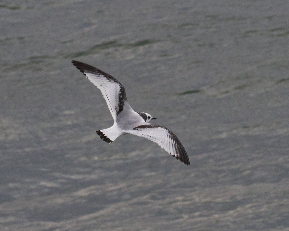 Juvenile Black-legged Kittiwakes are a striking and regular sight at the sea watch…