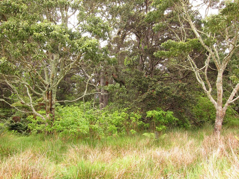More native woodlands will host the Big Island's endemics…