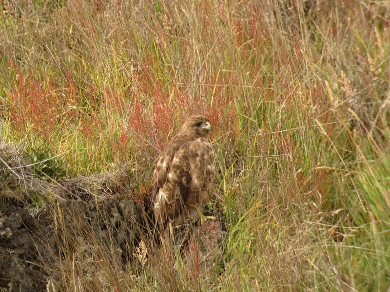 The fabulous Hawaiian Hawk will be among the many Endangered endemics that this tour will provide.