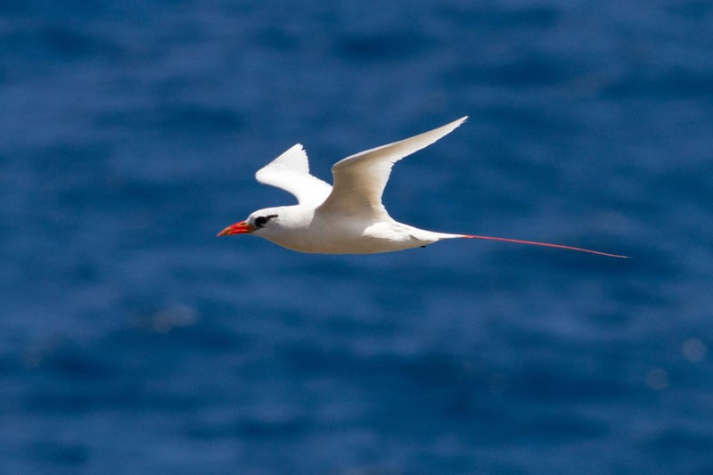 Then we'll work the coast for breeding seabirds such as Red-tailed Tropicbird…