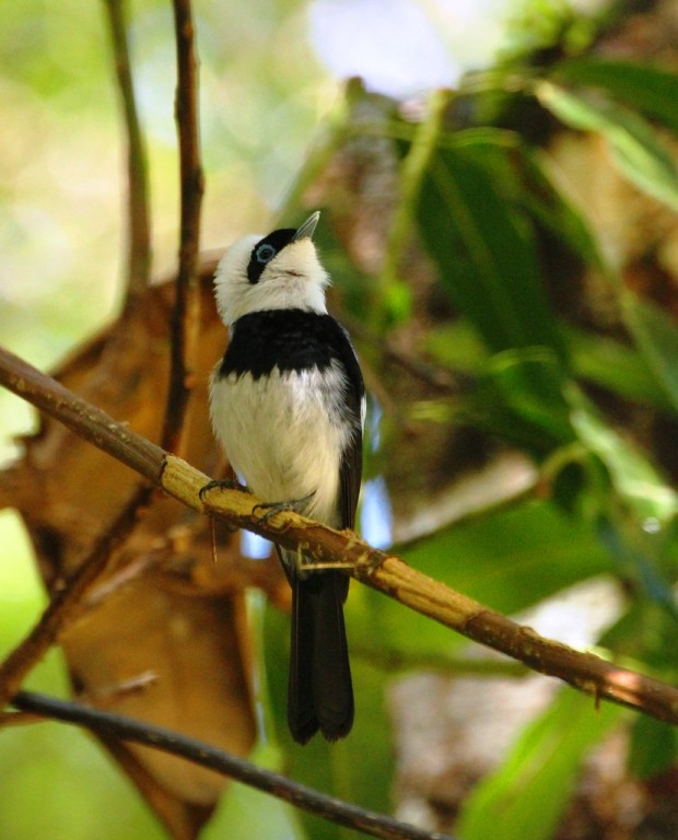 and more widespread ones like this Pied Monarch