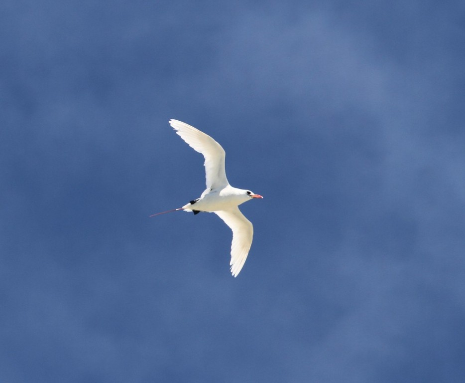 Ethereally white Red-tailed Tropicbirds nest here too,