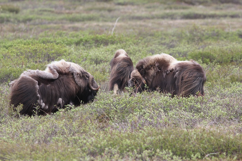 …and we may see Musk Ox…