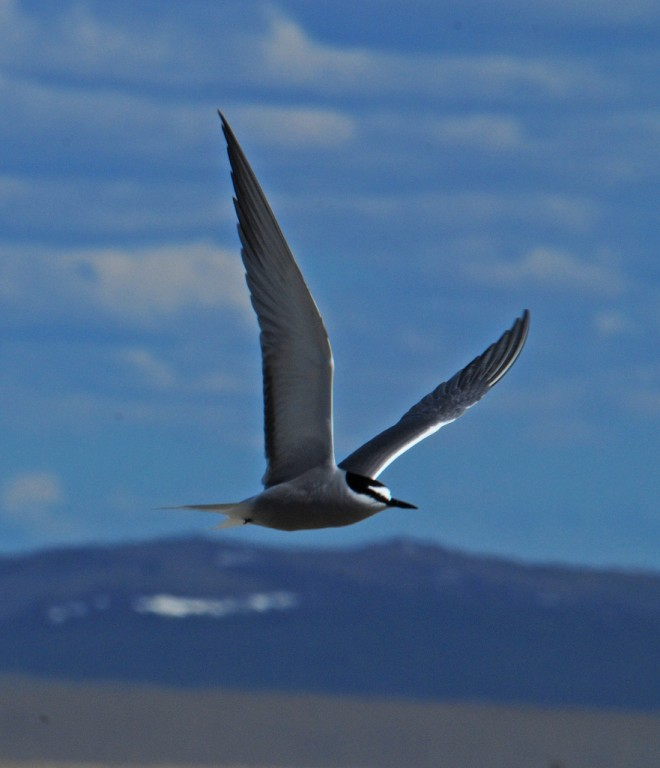 …and most of another day at a lagoon where Aleutian Tern breeds.