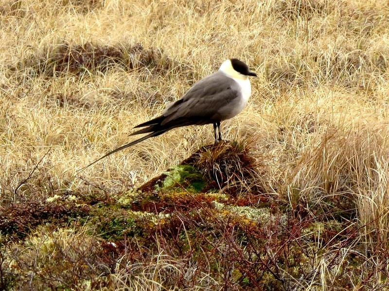 …and Long-tailed Jaeger…