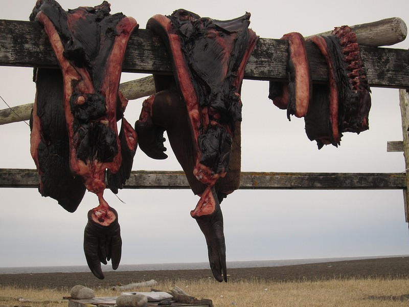 …air drying carcases of seals and seabirds, which are important local foods…
