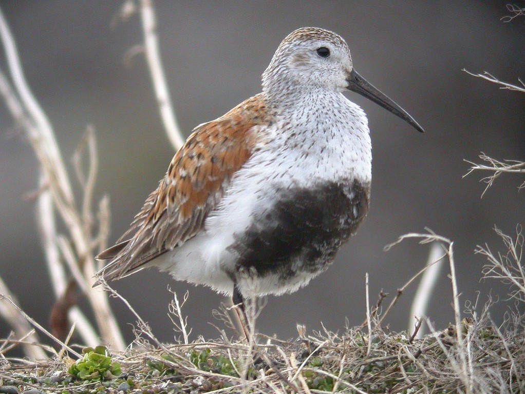 …marshy areas along the way and especially at the south end collect waders which might include the brilliant if common Dunlin…