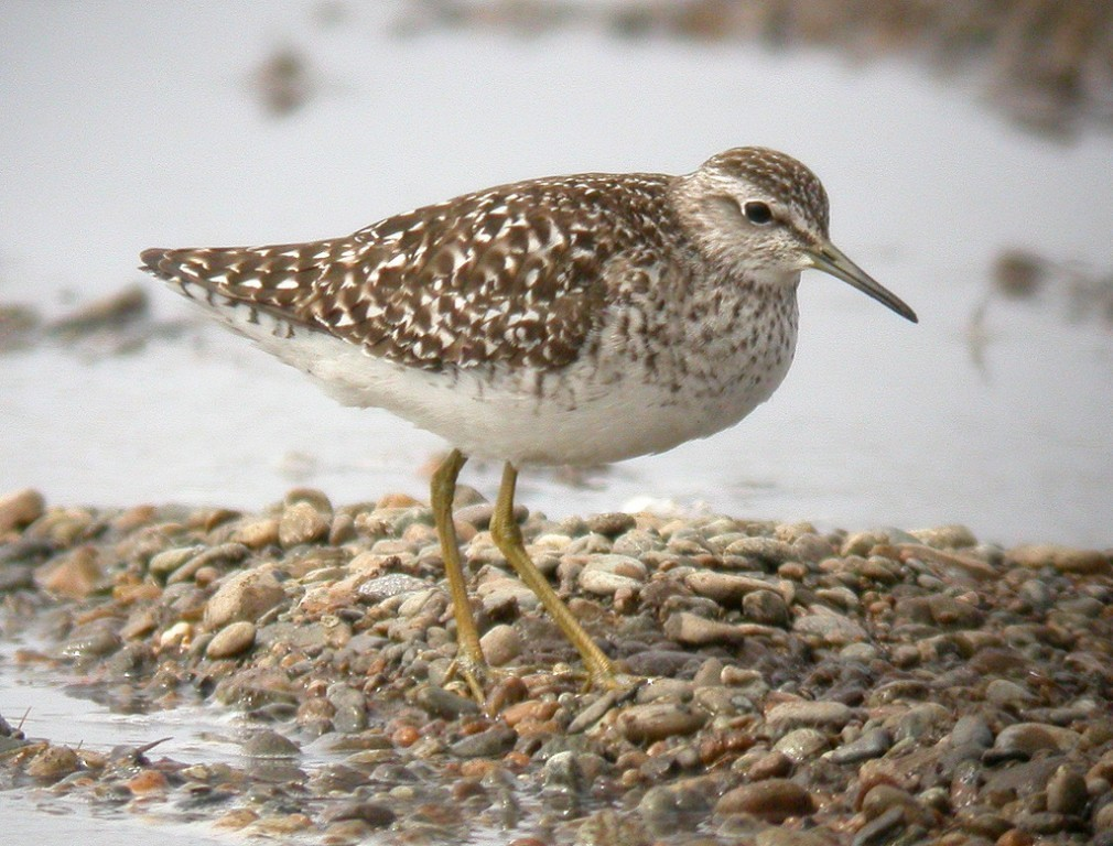…and perhaps something less common such as Wood Sandpiper or…