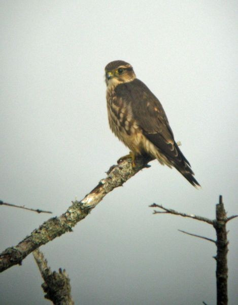 …and Merlins seem everywhere on the prowl.