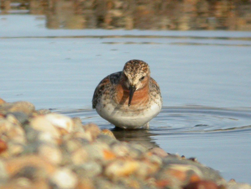 …the less common Red-necked Stint…