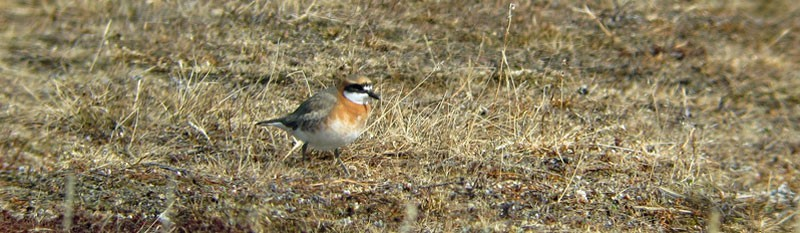 …perhaps something rare like Lesser Sand Plover…