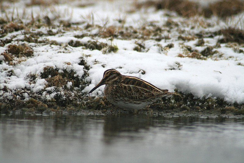 …or an 'in our dreams' bird not often recorded in North America like this Jack Snipe.