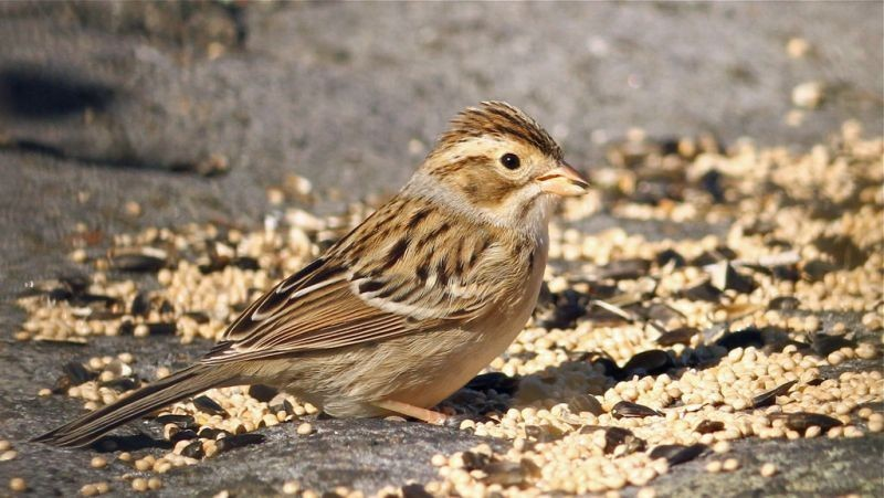 …and Clay-colored Sparrow are actually expected. (ls)