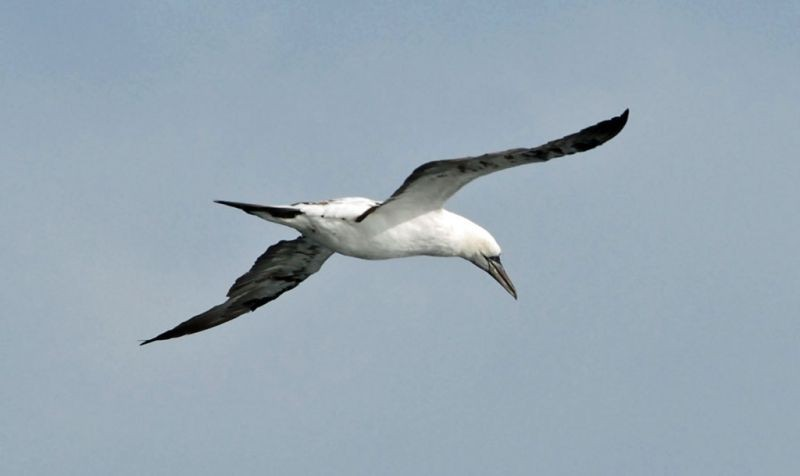 …and we often encounter Northern Gannets on the crossing. (jl)