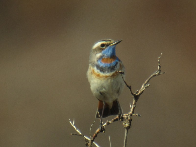 …and Bluethroat…