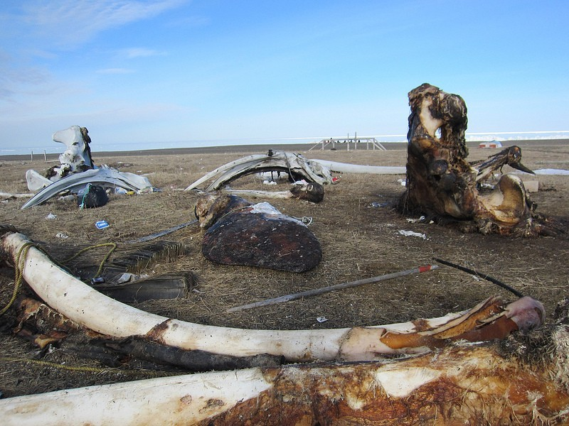 Birds aside, Gambell is a a fascinating place with the remnants of past whale harvests…