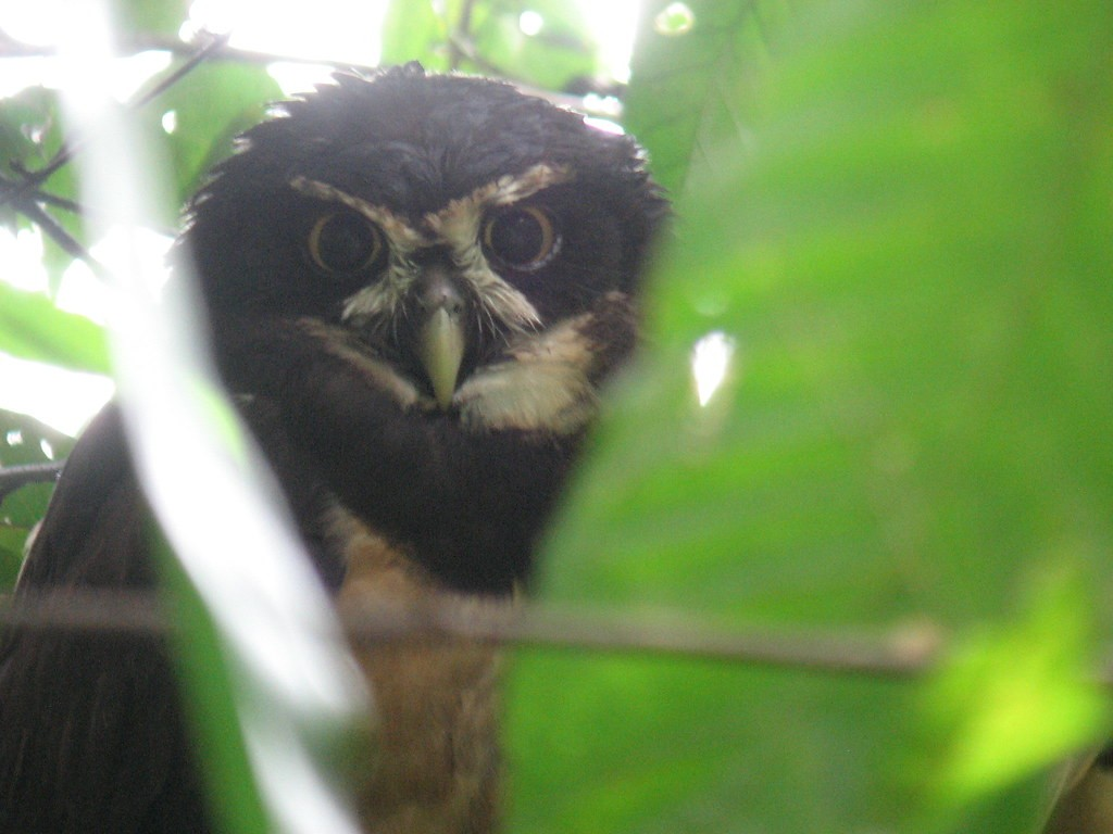 …and Spectacled Owl…