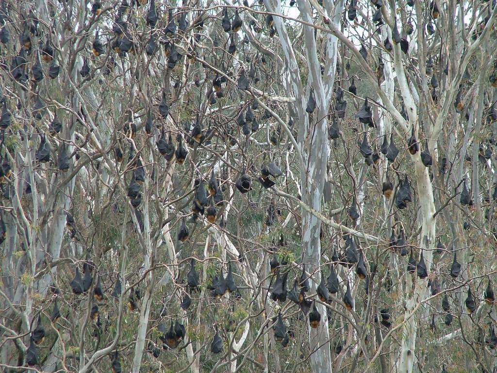 camps of Gray-headed Flying-Foxes,
