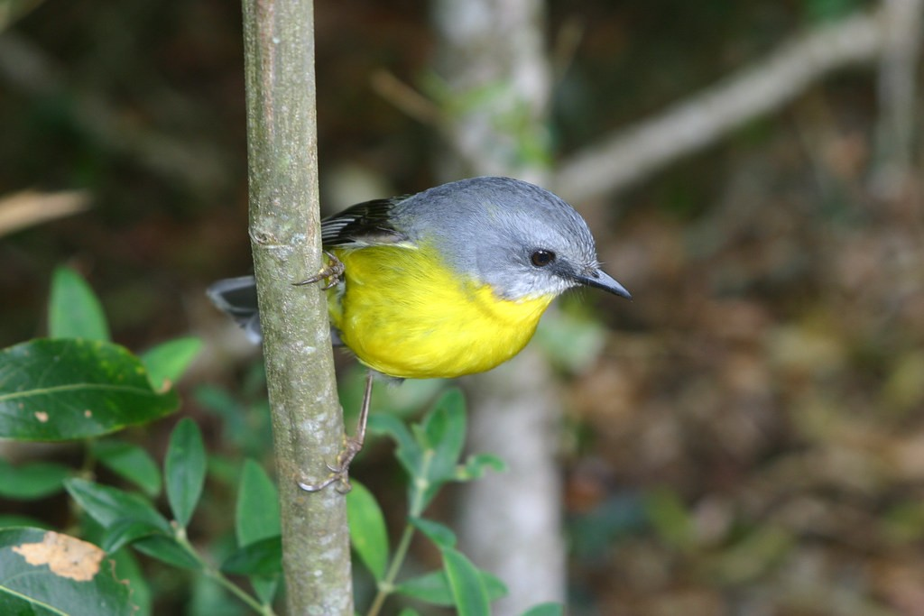 and curious (Eastern Yellow Robin).