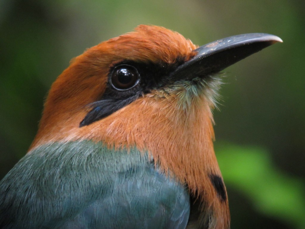 Over 400 bird species have been seen within 20 miles of the Canopy Tower ranging from Broad-billed Motmot…