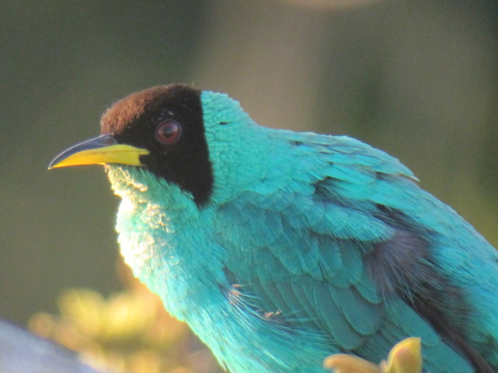 …and electric Green Honeycreepers.