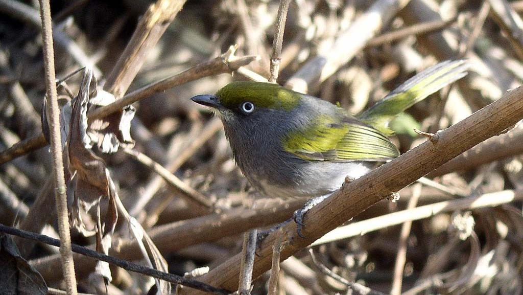 …or the stunning Slaty Vireo.