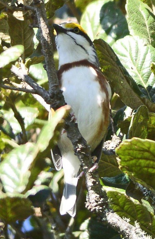 …and birds which might include Chestnut-sided Shrike-Vireo…