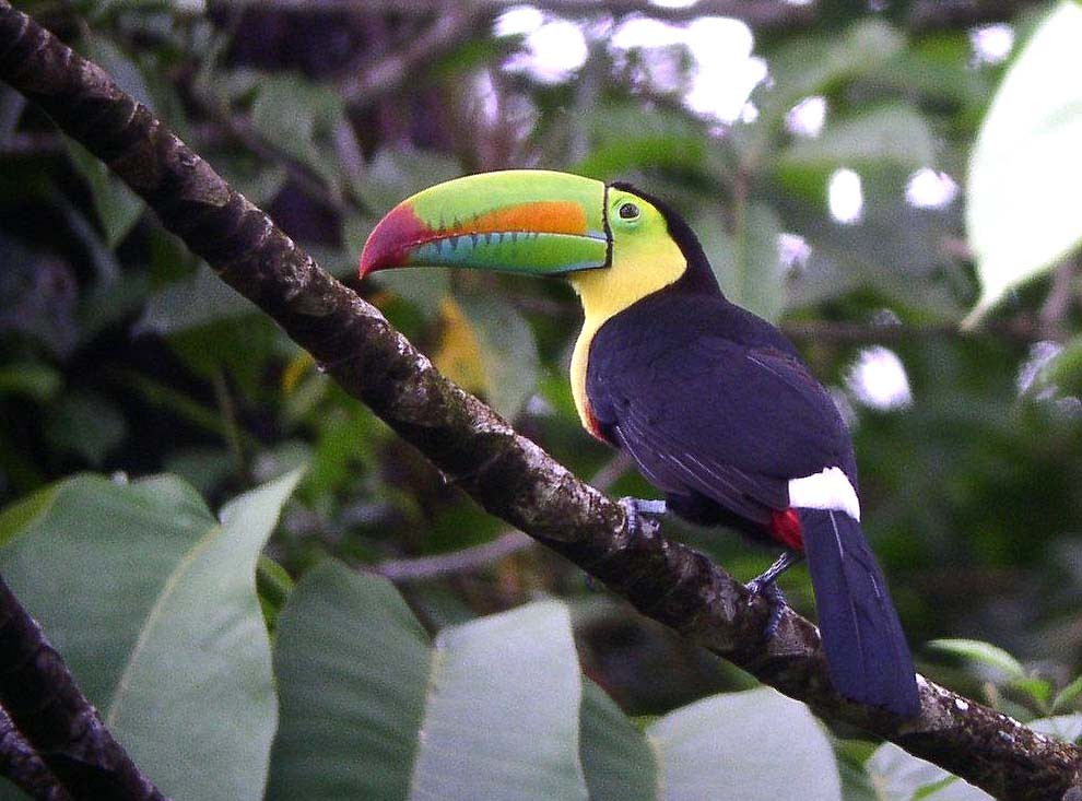 …to the tropical lowlands of northern Oaxaca where treats such as this Keel-billed Toucan might grace us with its presence…