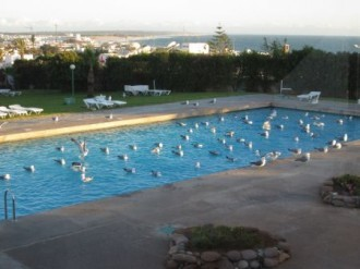 …we'll head to the coast, where Yellow-legged Gull is an easy addition to the trip list on the hotel swimming pool! (JL)