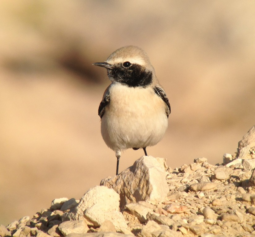 …and Desert Wheatear is common… (SM)