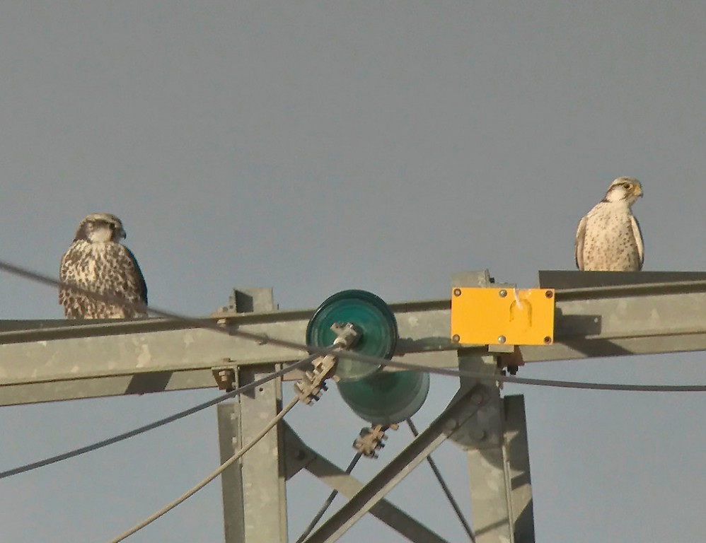…Lanner Falcons… (SM)
