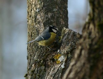 …and North African Blue Tit. (JL)