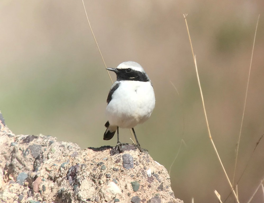 …and Seebohm's Wheatear, both North African endemics. (SM)