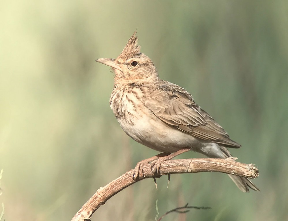 We'll spend some time studying the larks, with Thekla's, Crested and this Maghreb Lark all available. (SM)