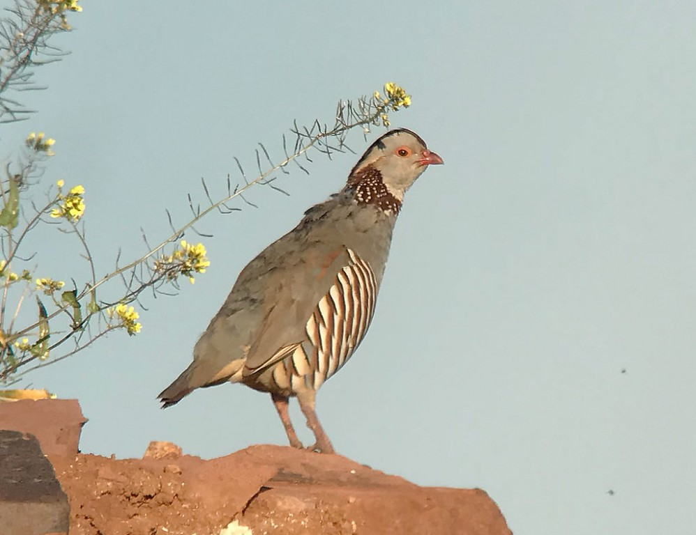 …where we might also see the beautiful Barbary Partridge… (SM)