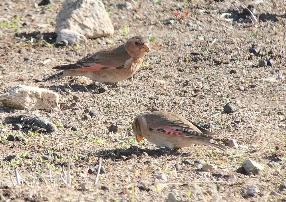 Specialities here include Atlas Crimson-winged Finch… (JL)