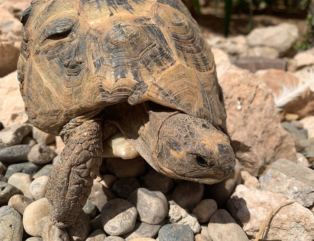 Other wildlife sometimes included Spur-thighed Tortoise… (SM)